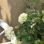 事務所前のお花